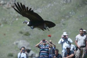 Cóndor andino
